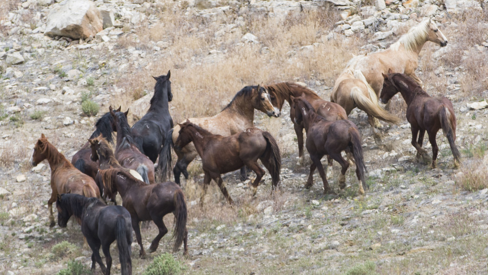 Image result for Stallion with mares wild horses