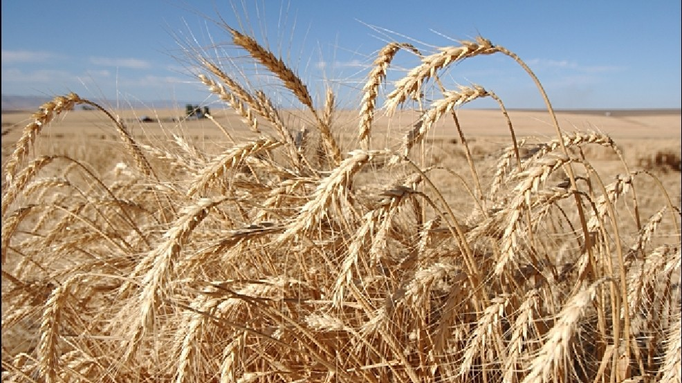 Farmers face uncertainty due to GMO wheat | KPIC