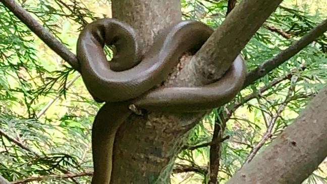 Boa snake spotted by hikers on popular hiking trail | KPIC